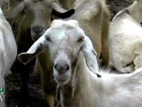 В Ізраїлі козел дає до трьох склянок молока на добу