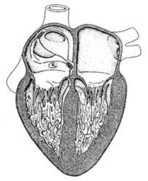Ученые вырастили жизнеспособную сердечную мышцу