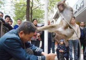 В Китае обученные кунг-фу мартышки избили дрессировщика