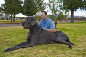 Претендент на звание самой большой собаки в мире съедает 50 кг корма ежемесячно