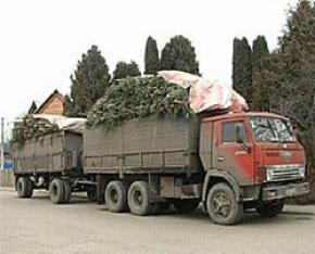 Волынская милиция на выходных устроит облавы на елки-нелегалы
