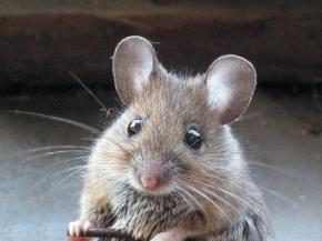 В попытке убить мышь житель Австрии поджег свой дом