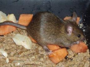 Миші влаштували гніздо в столі британського поліцейського