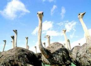 Янукович розводить страусів і дивних кіз з великим задом