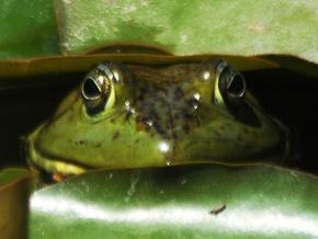 Геном жаби схожий на людський