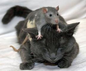 Виявлено джерело страху мишей перед кішками