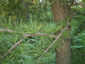 Знаете ли Вы на сколько полезные хвойные деревья ?
