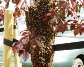 У центрі Ужгорода рій бджіл ганявся за людьми