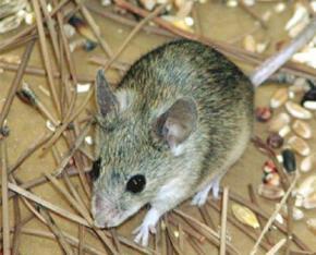 Знайдено ген, що відповідає за сексуальну орієнтацію мишей