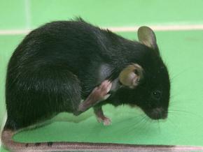 Мозок ссавців влаштовано за принципом інтернету