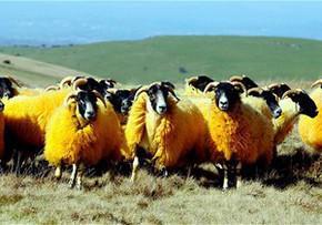 Британський фермер пофарбував своїх овець у помаранчевий колір
