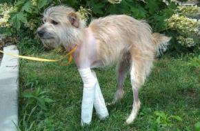 Пес якого віднесло торнадо, приповз додому через 20 днів на зламаних лапах