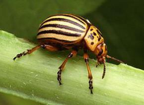 Молдавские ученые вывели насекомое, которое ест яйца и личинки колорадского жука