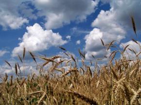 Експорт пшениці з України зросте удвічі