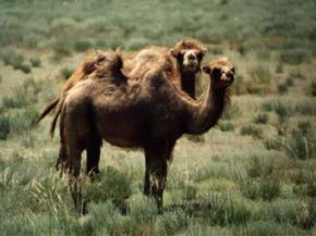 Шофер-наркоман задавив 15 верблюдів, прийнявши тварин за