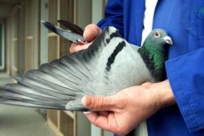 У Китаї бізнесмен купив голуба майже за 400 тисяч доларів