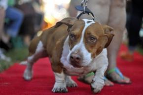 У Каліфорнії обрали найпотворнішу собаку в світі