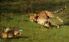 Швидкість гепардів вперше виміряли в дикій природі