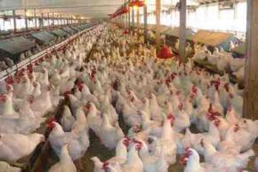 С сегодняшнего дня Украина начинает экспортировать курятину в страны ЕС