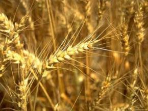 Україна може зайняти третє місце в світі з експорту зерна