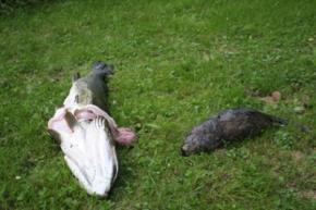 Фінський риболов зловив щуку з ондатрою всередині