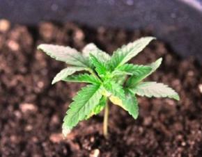 В Уэльсе в уличных горшках с цветами вырастили урожай марихуаны