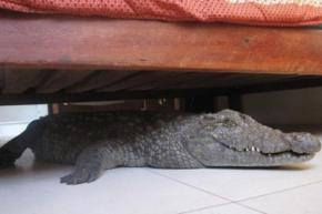 Проснулся в отеле и нашел под кроватью живого крокодила