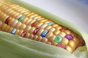В Украине хотят легализовать ГМО-культуры, которые давно выращиваются, несмотря на запрет