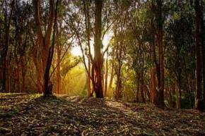 Ученые нашли деревья с золотыми листьями