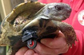 Ветеринары сделали черепахе без лапы протез из
