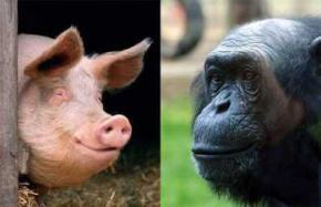 Сенсационное заявление генетика: человек - плод любви свиньи и шимпанзе