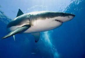Ученые обнаружили генетическое сходство между человеком и акулой