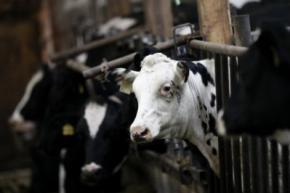 Корови підірвали корівник власним газом