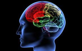 Вченими виявлено ділянку людського мозку, яка відрізняє його від мозку тварин