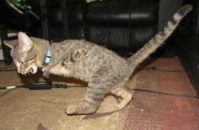 Котенок-инвалид научился ходить на задних лапах