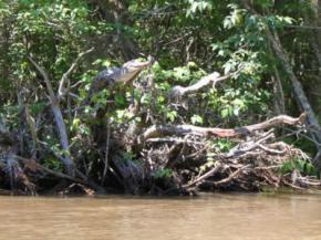 Ученые выяснели почему крокодилы лезут на деревья