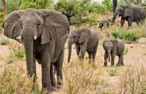 Африканські слони здатні розрізняти стать людини по голосу, - вчені