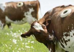 Фермери вирізали в живих коровах діри, щоб спостерігати за травленням. Відео