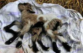 В Хорватии родился козленок-гермафродит с восемью ногами