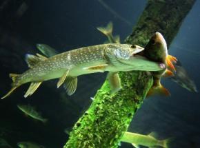 У риб є інтелект, вони відчувають біль так само, як людина - вчені