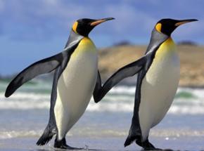Вчені розшифрували мову пінгвінів