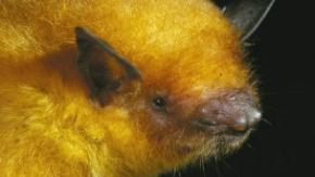 В Боливии открыли новый вид летучей мыши