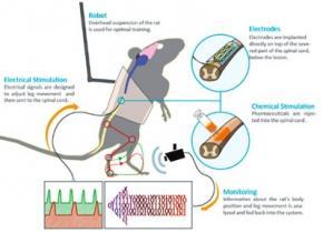 Нейрофизиологи заставили парализованную крысу бегать