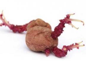 Щоб уникнути вагітності дівчина виростила в піхві картопляний кущ