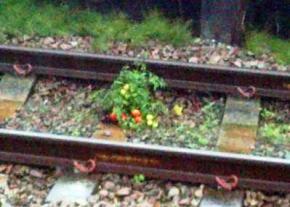 Залізничник зібрав врожай томатів, які виросли з екскрементів пасажирів