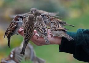Кількість птахів в Європі стрімко зменшується, - вчені