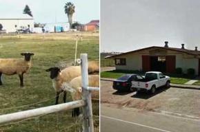 Щоб позбутися страху перед іспитами, студент зайнявся сексом з вівцею
