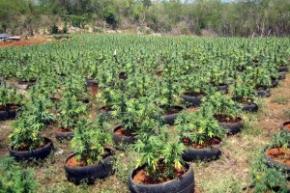 В Колорадо началась праздничная распродажа марихуаны