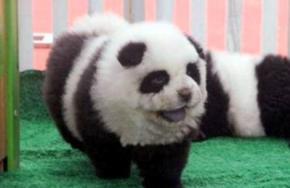 Сотрудники итальянского цирка-шапито выдавали за панд собак породы чау-чау