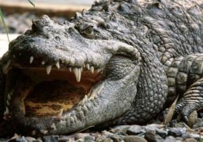 Наркоман посадив крокодила охороняти його марихуану від грабіжників